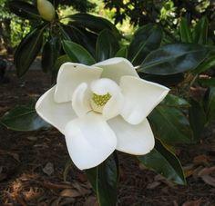 Magnolia grandiflora Little Gem Magnolia Blerick Trees Buy Online Trees Advanced Trees, Screening Plants, Fruit Trees
