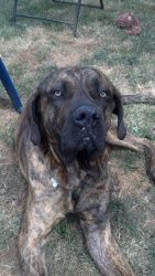 Rocco is an adoptable Mastiff Dog in Warren, NJ. Make A Difference Try fostering a dog for Rawhide Rescue For more information, visit us at www.rawhiderescue.org...