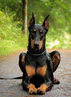 So regal! #Doberman #puppylove