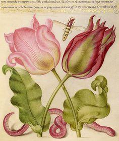 Tulips, Insect, and Worm (detail), Joris Hoefnagel, Georg Bocskay, 1591-96, script 1561-62