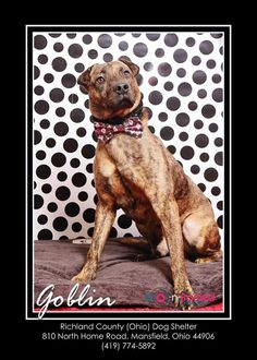Needs rescue group! 05/18/15-Meet Goblin - Special Needs hrt worm positive on meds, has great video, good farm dog Petfinder adoptable Mountain Cur Dog | Mansfield, OH | Hi there, the staff at the shelter named me Goblin. I came to the shelter as a stray on 9/25/14. My...