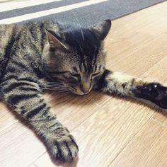 夜ムサシ。電波受信中。Whiskers antenna. #musashi #mck #cat #キジトラ #ムサシさん