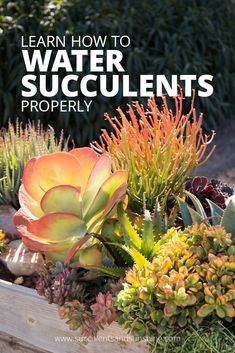 Watering Succulents: Wondering how often you should be watering your succulents? Find out all the ins and outs of how to water succulents with the tips in this post. You'll be surprised at how much water these drought tolerant plants need! #succulents #succulentgarden #water #wateringsucculents #howtowatersucculents #howoftentowatersucculents #succulentplanters #plantcare #indoorsucculents #outdoorsucculents #succulentleaves #succulenthouseplants #diysucculentprojects #succulentandcactus