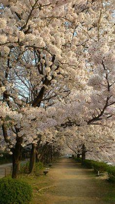 Sakura @ Okayama Korakuen (Japan) April 10, 2012 cherry blossom japan pink