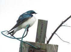 Bird Photos, Birding Sites, Bird Information: MALE TREE SWALLOWS, WINDERMERE BASIN, HAMILTON, ON...
