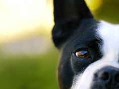 A half head shot of a Boston terrier