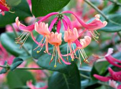 https://flic.kr/p/ym3xeV | Honeysuckle, Kentlands Photowalk IMG_4581 | Kentlands Photowalk, Gaithersburg, Maryland Photograph by Roy Kelley Roy and Dolores Kelley Photographs