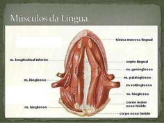  O Condroglosso é um músculo inconstante, insere-se  no Pequeno Corno do osso Hioideo e na língua, a  artéria lingual atrav...