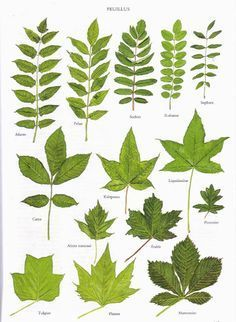 Just a few tree leaves Botanical Drawings, Botanical Illustration, Botanical Prints, Leave In, Nature Tree, Flowers Nature, Trees And Shrubs, Trees To Plant, Tree Leaves