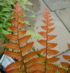 new foliage by kniphofia