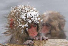 CUTE LITTLE SNOW MONKEY