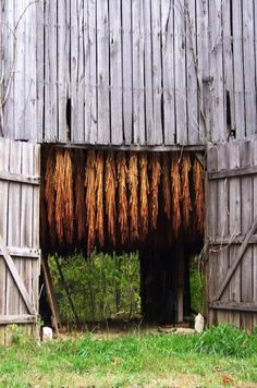Tobacco drying in an old barn