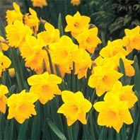 Dutch Master Daffodil 100 Bulbs $49