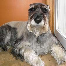 All About the Miniature Schnauzer Dog Breed Schnauzer Breed, Standard Schnauzer, Giant Schnauzer, Miniature Schnauzer, Schnauzers, All Dogs, Dogs And Puppies, Doggies, Small Dog Breeds