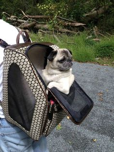Mr. Pug has a sweet ride