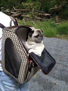 Mr. Pug has a sweet ride