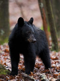 Beautiful black bear cub in the woods of the Smoky Mountains.
