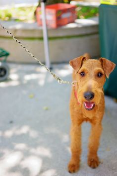 Irish Terrier More Murphy Coats, Types Of Dogs, Irish Terriers, Irish Red… Terrier Breeds, Terrier Dogs, Airedale Terrier, Terriers, Scottish Deerhound, Irish Terrier, War Dogs, Wire Fox Terrier, Irish Wolfhound