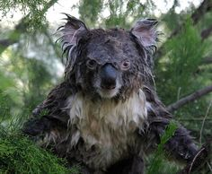We all found out what a wet koala looks like.   The 40 Cutest Things That Happened This Year