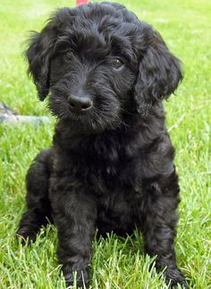 i love this black goldendoodle.