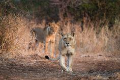 Tena Tena | Zambia | Lion