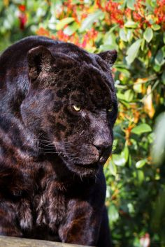 You can see the Leopard spots on this Panther ♥️ Panther Cat, Black Panther, Beautiful Cats, Animals Beautiful, Black Jaguar Animal, Big Cats, Cats And Kittens, Gato Grande, Exotic Cats