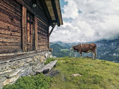 https://flic.kr/p/23LxNZh | Cow | Location: Murren, Switzerland