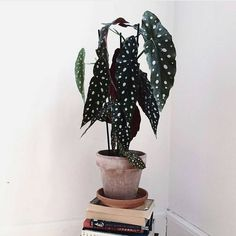 Speaking of unique plants: the begonia maculata. With large hanging leaves … – House Plants Bloğ