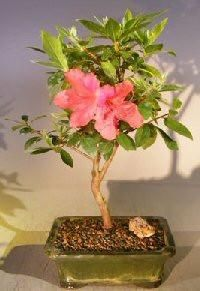 "The World of Real Bonsai by Oxemegifts.com-The Southern Charm Azalea is a beautiful evergreen that produces bright pink flowers. The elegant flowers bloom in clusters making it a good indoor Bonsai.7 years old, 14"" - 15"" tall.Recommended flowering indoor bonsai tree, grown and trained by Bonsai BoyPotted in a ceramic container. Suitable humidity/drip tray is recommended. To purchase add Added recommended Humidity/Drip Tray"