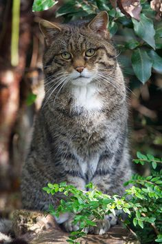 Scottish Wild Cat by Andy Silver!