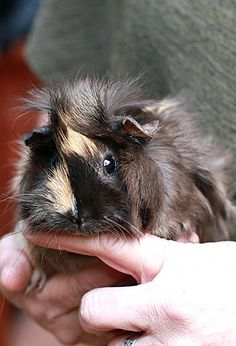 My kids had one that looked just like this  The Guinea Pig Daily