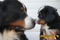 """Kennel """"The Barking Bunch"""", het Berner Sennen informatie en advies centrum"""