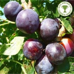 Czar Plum Tree | Buy Plum Tree | Purchase Plum Fruit Trees