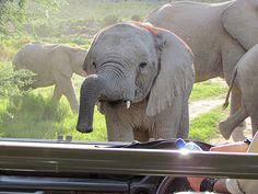 Baby elephant, Sanbona, South Africa