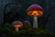 Light Dream - Bild & Foto von Moonshroom aus Pilze & Flechten - Fotografie (29318187) | fotocommunity