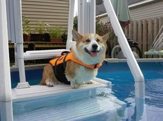 Jake's first solo swim in his new jacket!!  ..via Corgi Addict  Looks just like my logan's life jacket that he hates to have put on.