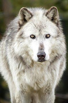 "beautiful-wildlife: ""Lone Grey Wolf by Albert Marquez """