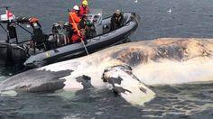 Canada: Une sixième baleine mystérieusement morte dans le golfe du Saint-Laurent