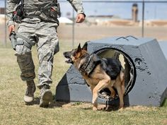 An Air Force military working dog looks to his handler upon completion of the obstacle course on Wednesday at Cannon Air Force Base, N.M.
