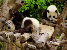 Cubs playing. What still amazes me is the influence of these creatures on people. We left the hotel very early, had no breakfast, had a terribly obnoxious fellow tourist in the mini-van, arrived all grumpy on a grey and overcast morning ... and when  Pandas are rare and cherished in China.