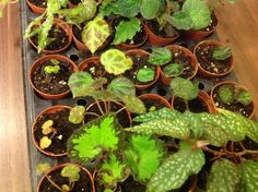 Growing begonia cuttings.