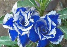 10 pcs Rare Blue Stripe Rose Bush Seeds White Dragon USA Seller! Free Shipping!!