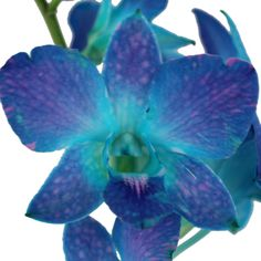 Add an eccentric touch to arrangements with Blue Raspberry Orchid Flowers. Dendrobium orchids are small blooms with five petals surrounding a curved lip in a st Fifty Flowers, Teal Flowers, Blue Wedding Flowers, Wedding Flower Decorations, Types Of Flowers, Cut Flowers, Wedding Ideas, Wedding Bouquets, Wedding Gowns