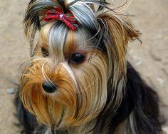 Yorkshire Terrier. PerrosAmigos.com
