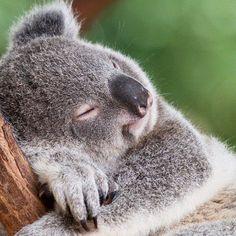 #koalasofinstagram #slumber #koalasgram #koalabear #instakoala #amused #koalas #koala #curious #koalabears