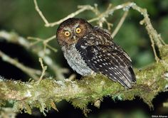 Bare-shanked Screech-Owl  Megascops clarkii  Savegre Valley, San José province, Costa Rica.  This screech-owl is found in highland forests of Costa Rica, Panama, and extreme NW Colombia