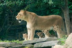 The Daily Cute: New Lion Cubs At the Philadelphia Zoo