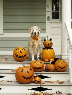Golden retriever with Halloween pumpkins on porch Prints from Fine Art Storehouse Photo Prints. Golden retriever with Halloween pumpkins on porch Halloween Pumpkins, Fall Halloween, Halloween Costumes, Happy Halloween, Halloween Decorations, Halloween 2018, Halloween Stuff, Halloween Kitchen, Halloween Labels
