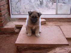 elkhound puppies are the best. #elghund #elkhound