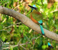 Una de la saves más hermosas de Mayakoba… el mot mot es difícil de fotografiar, pero sus colores majestuosos hacen que valga la pena #MiercolesSilvestre